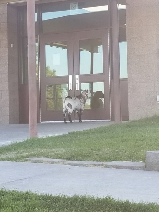 Goat at school